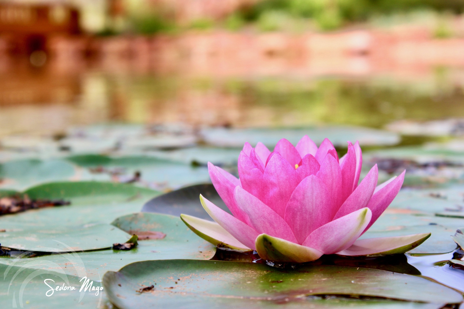 Healing-Lake-Pink-Lotus-Flower-Sedona-Mago