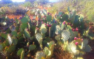Wild Cactus with Prickly Pears